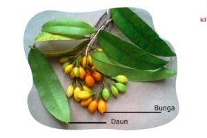 manfaat khasiat pohon gaharu